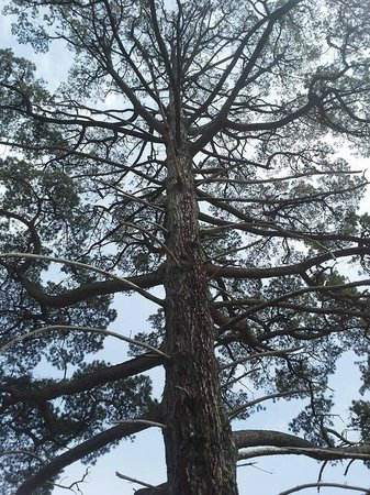 The Cedars: tree outside Hans Heysen's studio