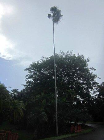 Jardin Botanico: Высооооооокая и хуууденькая пальма