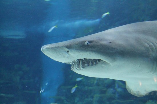 Tropicarium : Rather angry shark, no?