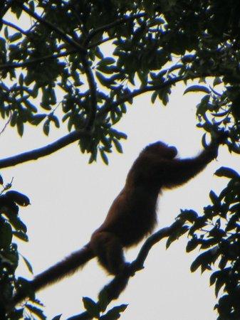 Posada Amazonas: Howler monkey