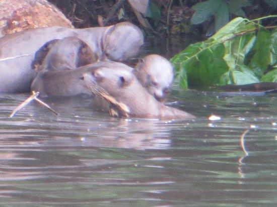 Posada Amazonas: Giant river otters