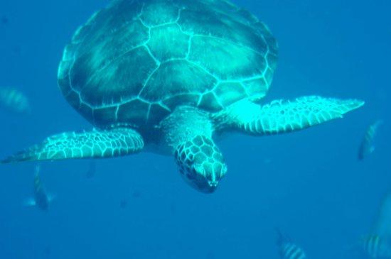 Yellow Submarine: Orädd sköldpadda