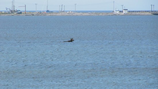 Seabreeze B & B: Moose swimming in front of the B&B