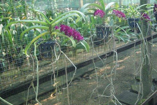 Coconut Sugar Farm: Orchidee
