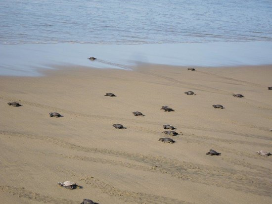 Playa Viva: Baby turtle release