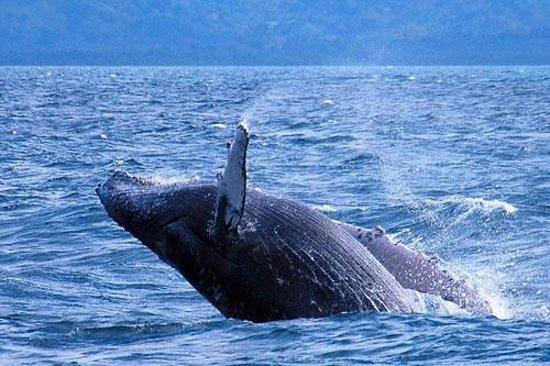 Hotel El Merlin Cabo Blanco: Avistamiento de Balenas