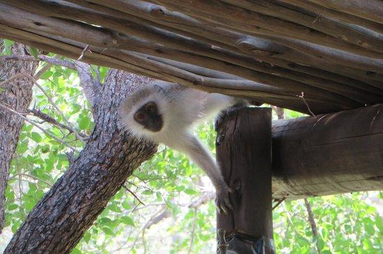 Chapungu Tented Bush Camp: Curious monkey