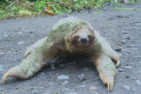 Paradise Adventures Costa Rica (PACR): Sloth...