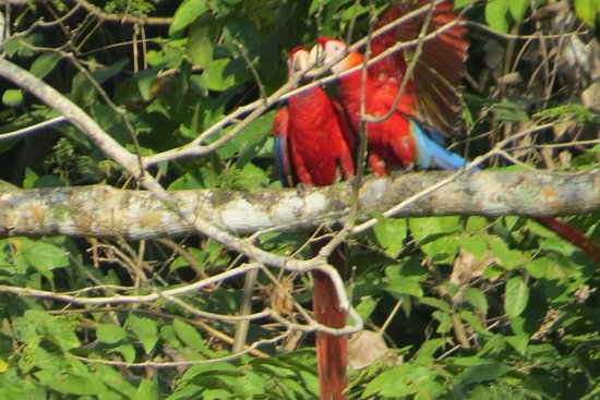 Los Suenos Marriott Ocean & Golf Resort: Macaw's on the golf course! Very LOUD, and entertaining ;)