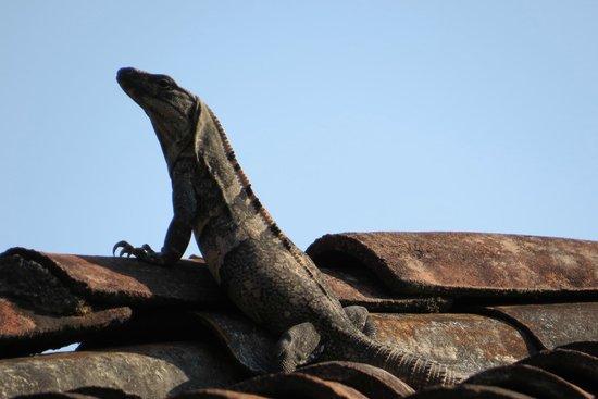 Los Suenos Marriott Ocean & Golf Resort : Lot's of Iguana sunning on the tile rooftops around the resort -