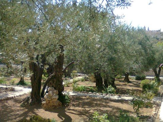 Ölberg: Garden of Gethsemane.