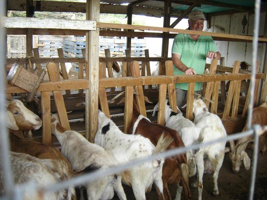 Aletta's Goat Farm: all lined up