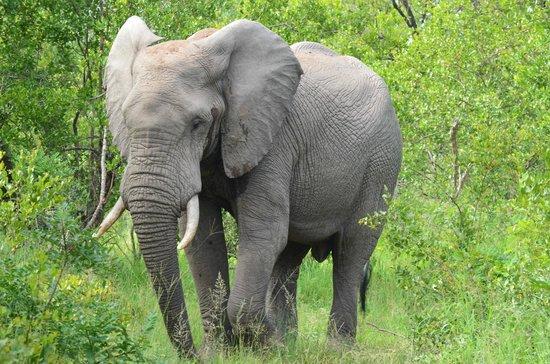 Elephant Plains Game Lodge : Game drive