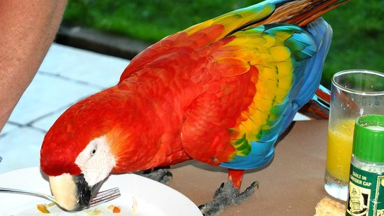 Morgan's Cove Resort & Casino: Macaw at the breakfast table