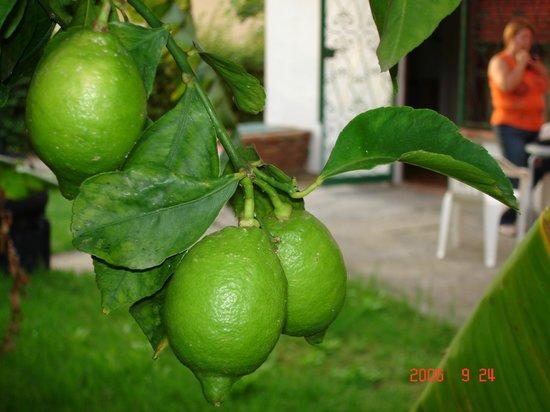 Holiday Club Naxos: Лимоны растут рядом с номером.