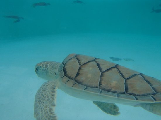 Xcaret Eco Theme Park: baby sea turtle - conservation program