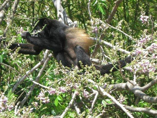 Monkey at Tranquilo Village