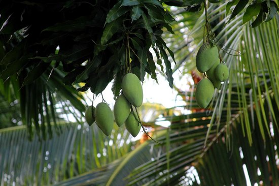 Bao Quynh Bungalow: If you look often at the mangoes in the garden the staff may present you some on check-out ;)