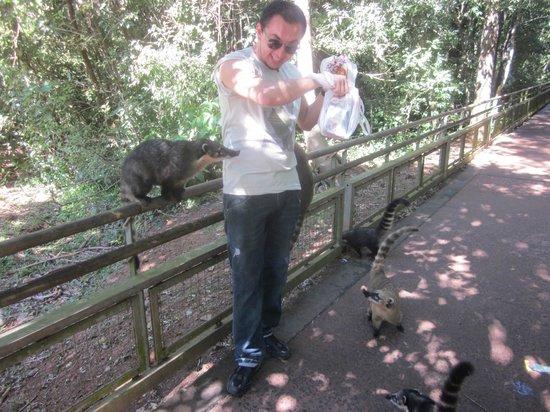 Iguazu Falls: Quatis - cuidado