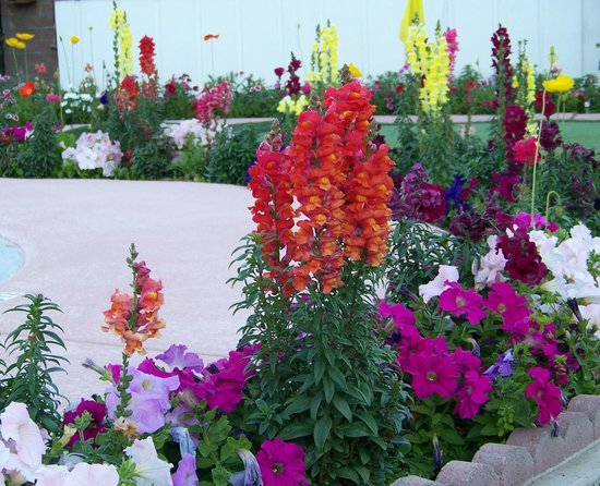 A Place in the Sun Garden Hotel: More Snapdragons......