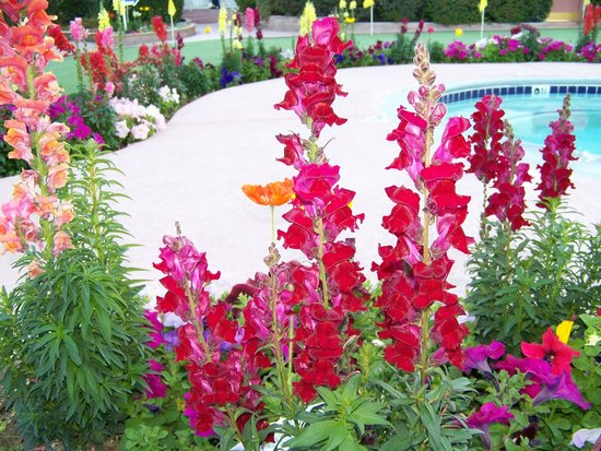 A Place in the Sun Garden Hotel: Beautiful Snapdragons around the hot tub.