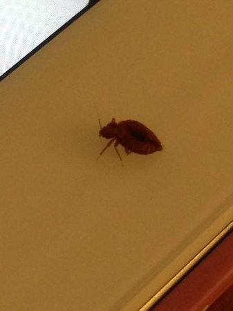 Microtel Inn & Suites by Wyndham Opelika : this is the bed bug I killed while staying at the Microtel in Opelika, Alabama