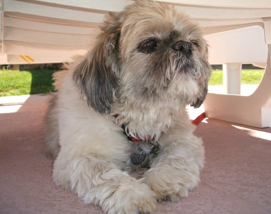 A Place in the Sun Garden Hotel: Ruby, the Shih Tzu, lounging by the pool.