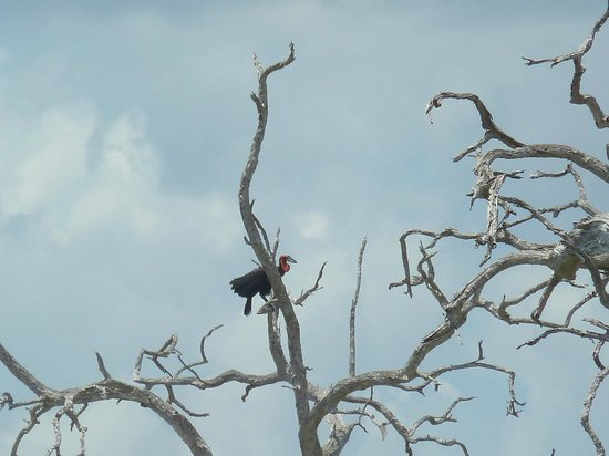 Selous Game Reserve: southern ground-hornbill