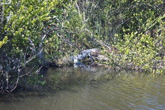 Everglades Safari Park: Gators!