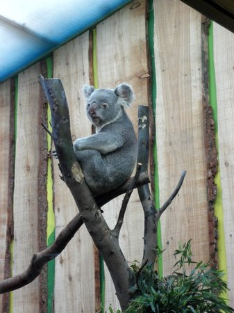 Edinburgh Zoo: Koala