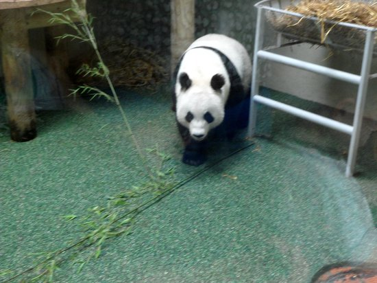 Edinburgh Zoo: Tian Tian