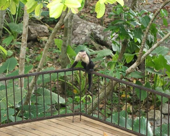 Arenas del Mar Beachfront & Rainforest Resort : monkey on our porch