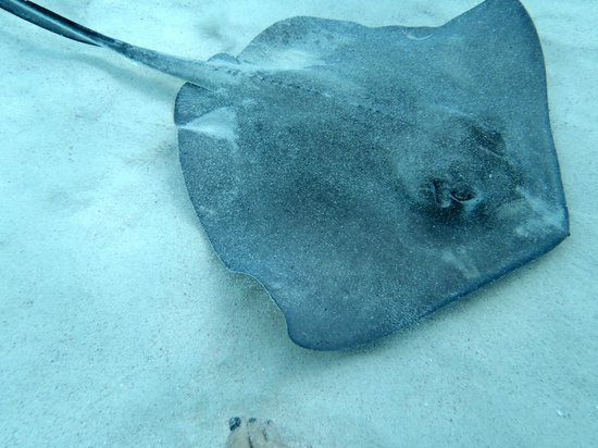 Captain Bryan's Sail and Snorkle Tours: male stingray at Stingray City