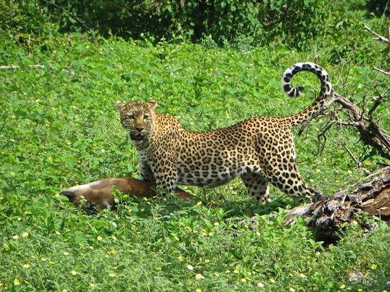 Sanctuary Chobe Chilwero : Leopard with her kill at Chobe