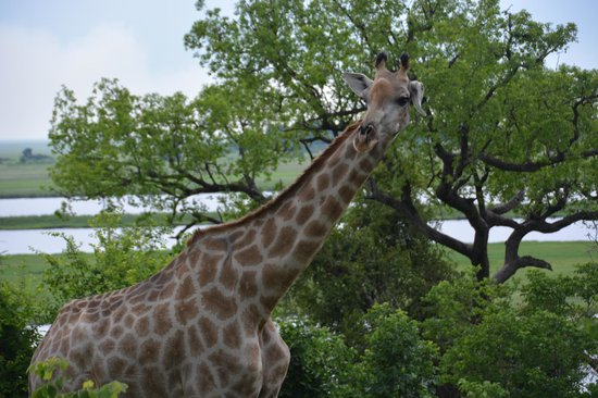 Sanctuary Chobe Chilwero: Checking out visitors from the treetops at Chobe