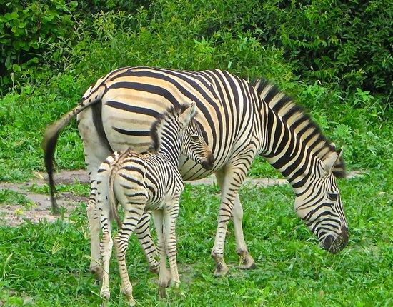Sanctuary Chobe Chilwero: Stripes!