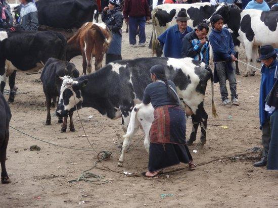 Otavalo Market: animal market