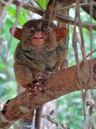 Anda White Beach Resort: Tarsier Exhibit Sightseeing Trip