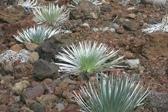 Haleakala Crater: silverswords