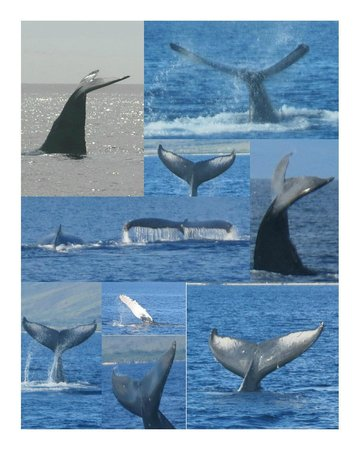 Pacific Whale Foundation : We saw lots of whales