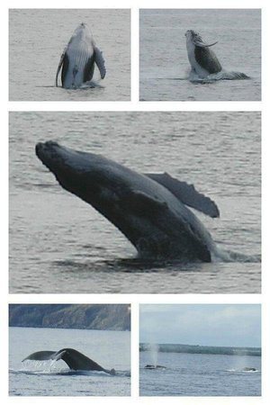 Pacific Whale Foundation : Baby breaching and more whales
