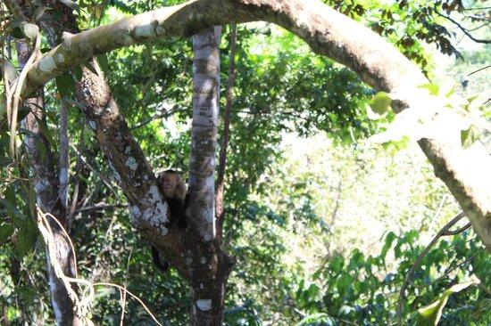 SunTrails Montezuma Waterfall Canopy Tour : white face monkeys were waiting for us :D