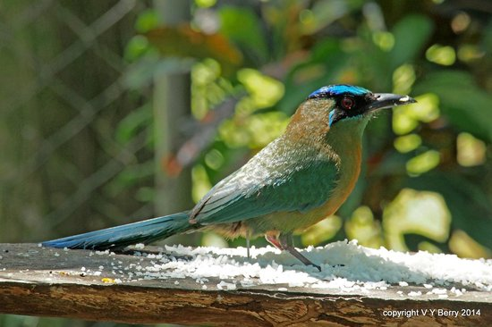 Aprovaca (The Orchid Nursery & Conservation Center): Blue-crowned Motmot on bird feeder