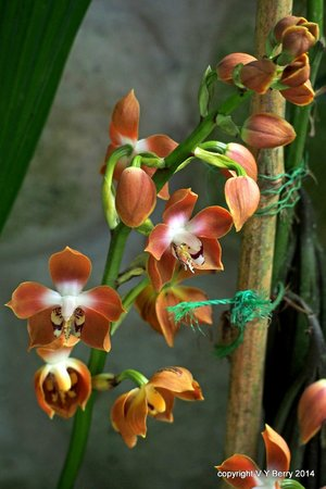 Aprovaca (The Orchid Nursery & Conservation Center): Orchid