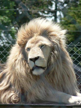 Kamo Wildlife Sanctuary: White lion