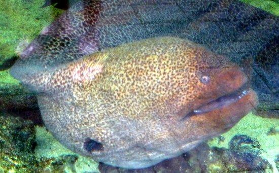 Mauritius Aquarium : Muraine