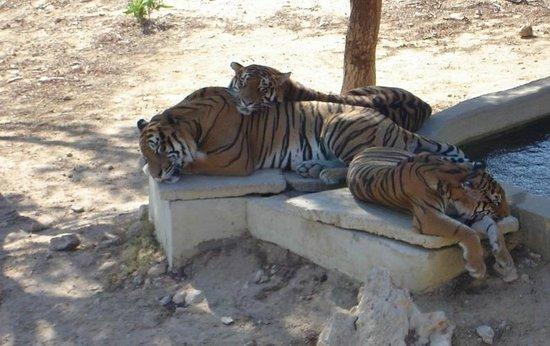 Friguia Park: Тигры