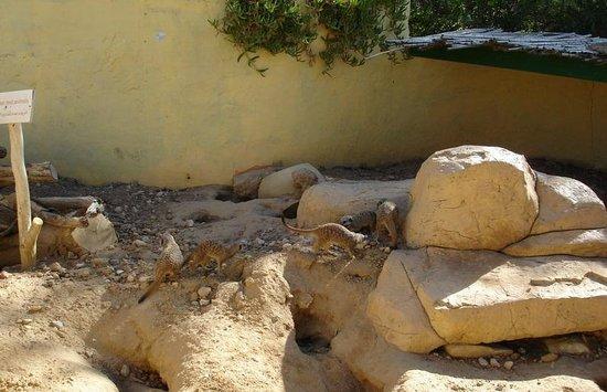 Friguia Park: Сурикаты