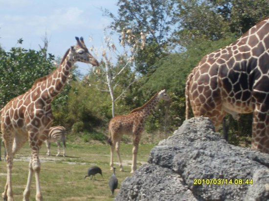 Honolulu Zoo: Giraffe