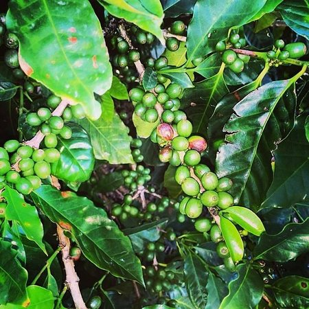 Jaques Coffee Plantation: Local Australian Coffee